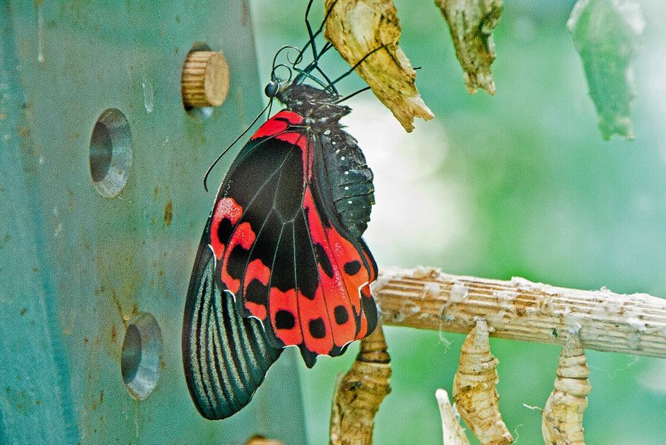さなぎから孵化する蝶